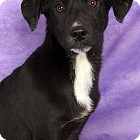 Adopt A Pet :: Pammy Labhound - St. Louis, MO