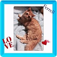 Adopt A Pet :: Ferrell - Harrisburg, NC