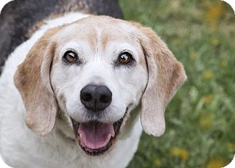 Beagle Dog for adoption in El Cajon, California - Maxwell