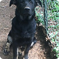 Rottweiler/German Shepherd Dog Mix Puppy for adoption in Russellville, Kentucky - Jerry