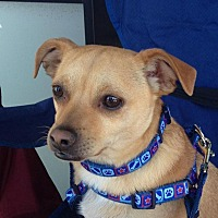 Chihuahua Mix Dog for adoption in Phoenix, Arizona - Lou