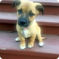 Terrier (Unknown Type, Small)/Dachshund Mix Puppy for adoption in Columbus, Ohio - Beyonce