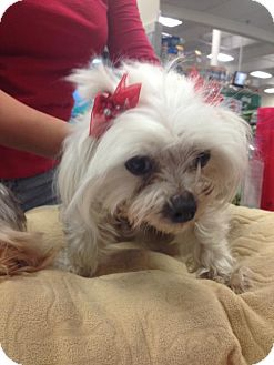 Maltese Dog for adoption in Moreno Valley, California - Christina 4.5lbs Maltese
