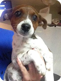 Jack Russell Terrier Mix Puppy for adoption in E. Greenwhich, Rhode Island - Annie