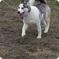 Siberian Husky Dog for adoption in Bristol, Virginia - Ariel