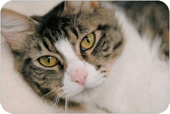 Domestic Mediumhair Cat for adoption in Garland, Texas - Jazzy
