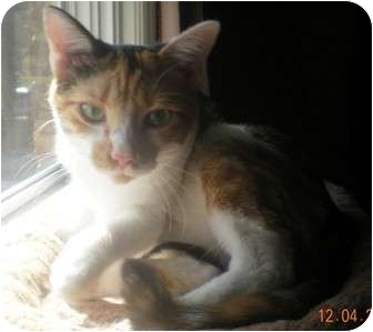 Calico Cat for adoption in Summerville, South Carolina - Pumpkin