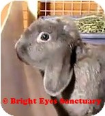 Mini Lop Mix for adoption in Rockville, Maryland - Michelle