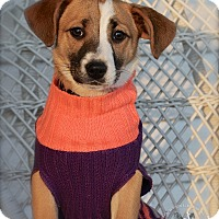 Adopt A Pet :: Cupid - Wilmington, DE