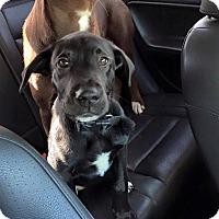 Adopt A Pet :: Alissa - Elyria, OH
