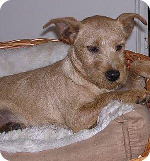 Terrier (Unknown Type, Medium)/Border Terrier Mix Dog for adoption in Yucaipa, California - sandi
