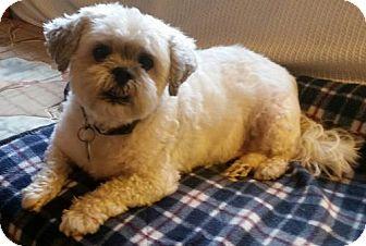 Shih Tzu Dog for adoption in Potomac, Maryland - Dusty