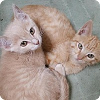 Domestic Shorthair Kitten for adoption in Hastings, Minnesota - Rooster & Goose