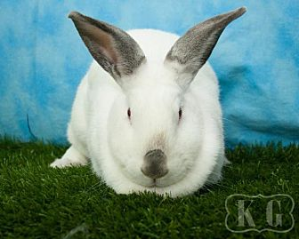 Californian for adoption in Pflugerville, Texas - Uno