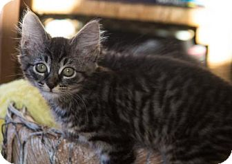 Domestic Mediumhair Cat for adoption in Vancouver, Washington - Madeline
