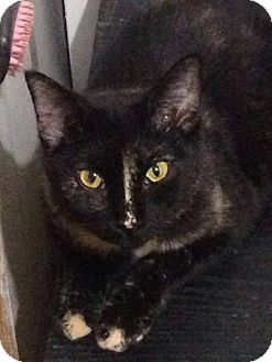 Domestic Shorthair Cat for adoption in Wasilla, Alaska - Voodoo