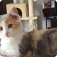 Domestic Longhair Kitten for adoption in Virginia Beach, Virginia - Eliza Hamilton