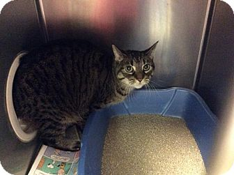Domestic Shorthair Cat for adoption in Janesville, Wisconsin - Lacee