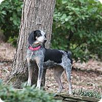 Bluetick Coonhound Dog for adoption in Raleigh, North Carolina - Macie