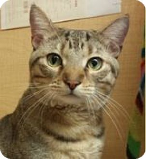 Domestic Shorthair Cat for adoption in Mesa, Arizona - Diego