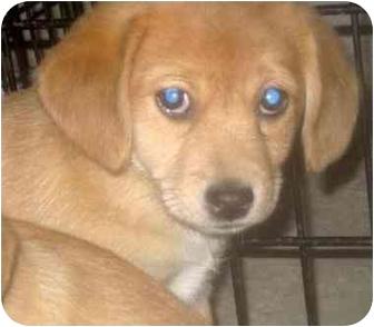 Pomeranian Beagle Mix   Dog Breeds Picture