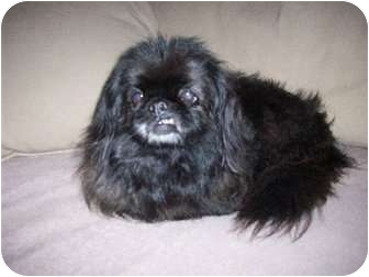 Pekingese/Pekingese Mix Dog for adoption in Richmond, Virginia - Shelia