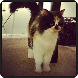 Domestic Longhair Cat for adoption in Millersville, Maryland - Jasmine (Jazzy)