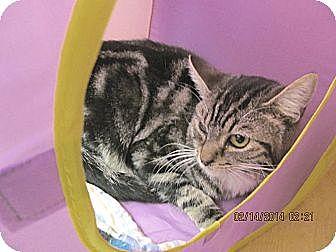 Domestic Shorthair Cat for adoption in Phoenix, Arizona - Perdito