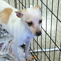 Toy Fox Terrier/Chihuahua Mix Dog for adoption in Fresno, California - Toby