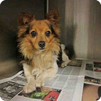 Adopt A Pet :: Corgi Sheltie Mix - Lomita, CA