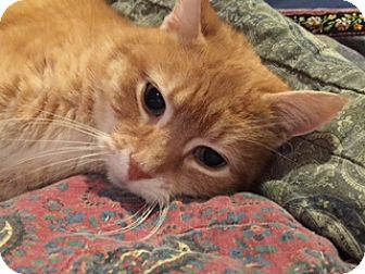 Domestic Shorthair Cat for adoption in Cincinnati, Ohio - zz 'Ginger' courtesy listing
