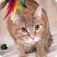 Adopt A Pet :: Gingersnap - Chicago, IL