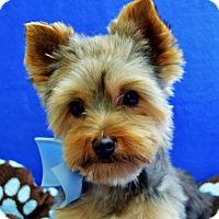 Adopt A Pet :: Teddy BooBoo - Irvine, CA
