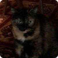 Adopt A Pet :: QT Tortie MC - Westerly, RI