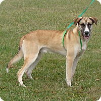 Husky/Great Dane Mix Dog for adoption in Cameron, Missouri - ROYAL