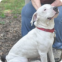 American Pit Bull Terrier Mix Dog for adoption in Tampa, Florida - Rosie