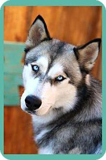 Siberian Husky Dog for adoption in Scottsdale, Arizona - Sky