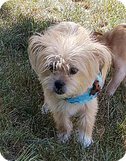 Yorkie, Yorkshire Terrier Mix Dog for adoption in Morganville, New Jersey - Sarah