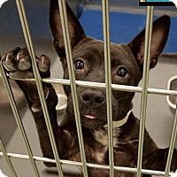 Adopt A Pet :: Liam puppy - Leesburg, VA