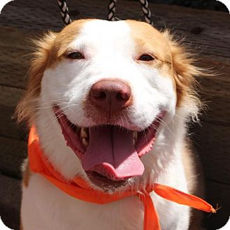 Retriever (Unknown Type)/Border Collie Mix Dog for adoption in Littleton, Colorado - Aarli