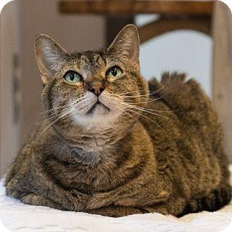 Domestic Shorthair Cat for adoption in Houston, Texas - Desi