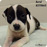 American Pit Bull Terrier Mix Puppy for adoption in Conroe, Texas - AZRUL
