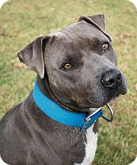 Pit Bull Terrier Mix Dog for adoption in Durham, North Carolina - Tank