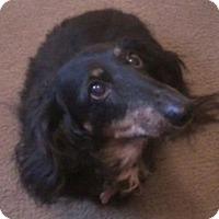 Dachshund Dog for adoption in Portland, Oregon - SAMMY