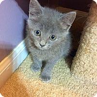 Domestic Mediumhair Kitten for adoption in Mooresville, North Carolina - A..  Roxy