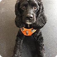 Adopt A Pet :: Belle-Lynn - Hudson, WI