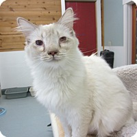 Adopt A Pet :: Cyrano - Kingston, WA