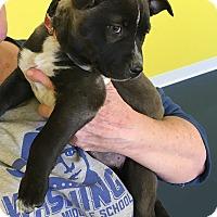 Adopt A Pet :: ALLIE - Albuquerque, NM