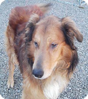 Dog Ready For Adoption Golden Retriever Australian Cattle ...