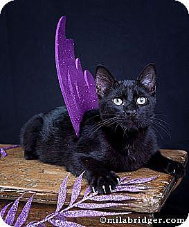 Domestic Shorthair Cat for adoption in Bonita Springs, Florida - Raisen